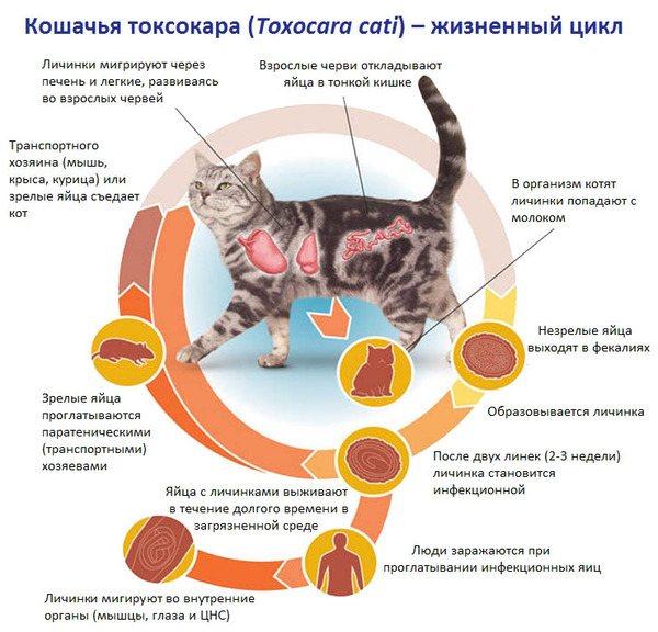 Котячий Токсокара