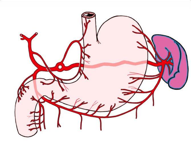кровопостачання шлунка