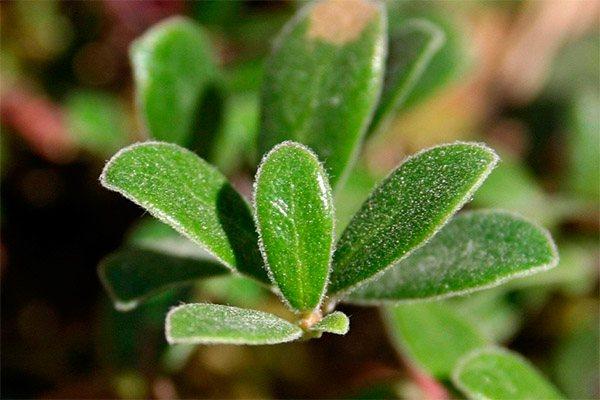 Лікувальні властивості листя мучниці