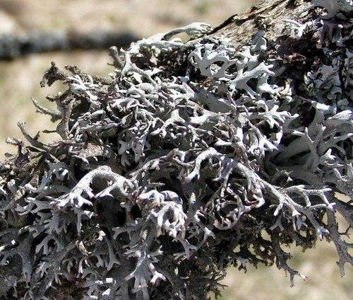 Лікуємо хвороби ісландськім мохом