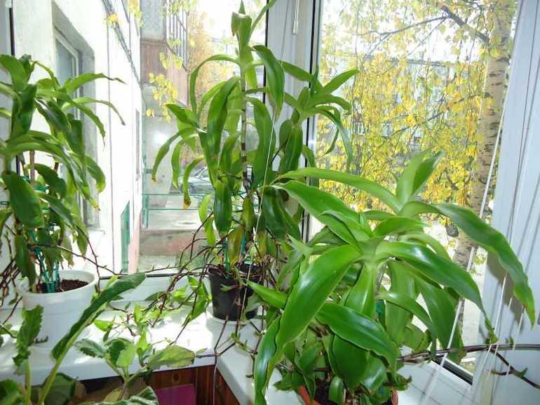 Лікарська рослина золотий вус