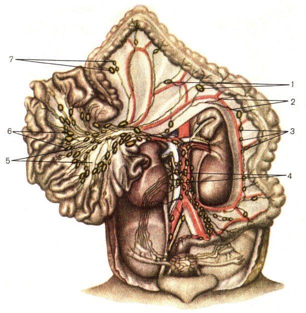 Лімфатічні судину и Вузли черевної порожніні