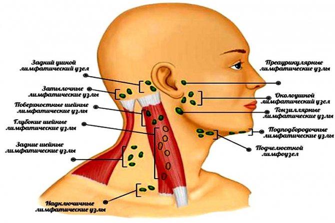 Лімфовузли голови і шиї