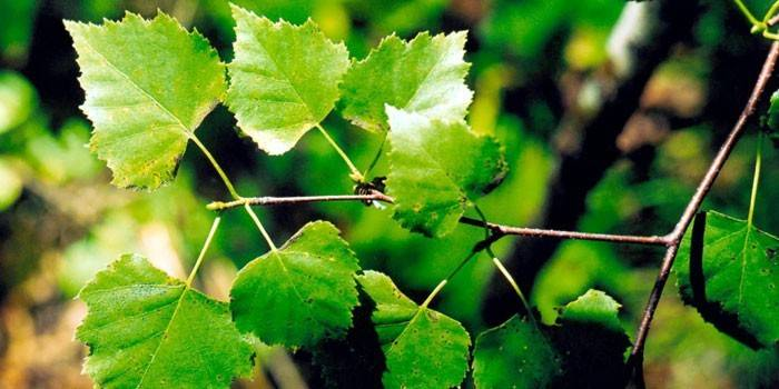 листя берези