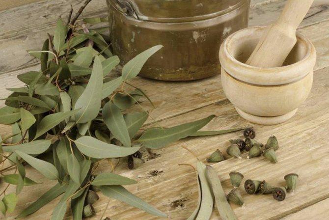 листя евкаліпта