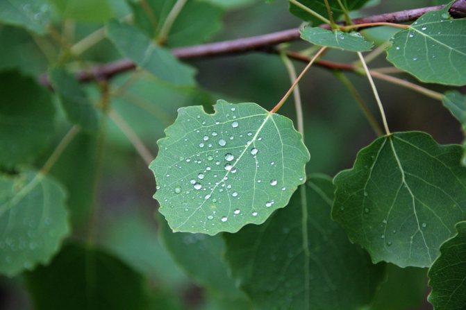 Листя осики збирають в травні або червні