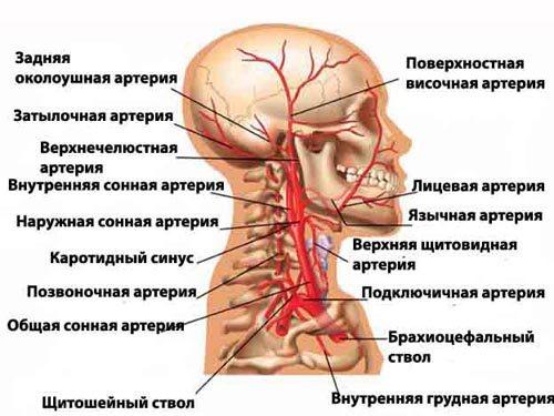 лобова область голови