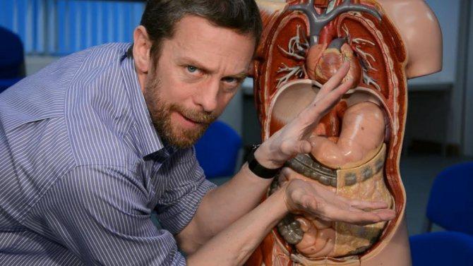 Макет розташування шлунка в тілі людини