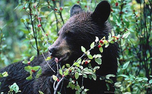 Ведмідь в заростях своєї улюбленої ягідки