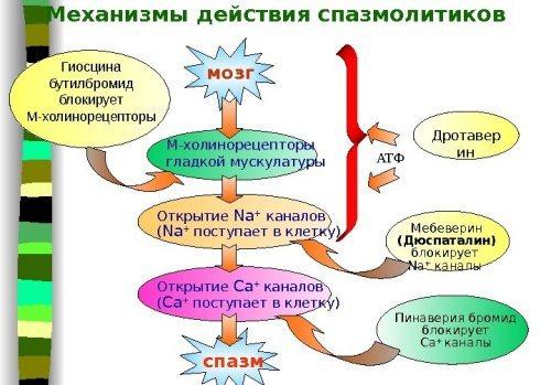 Механізм дії спазмолітиків