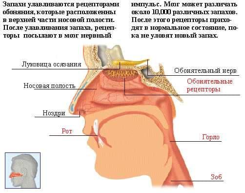 Механізм нюхових реакцій