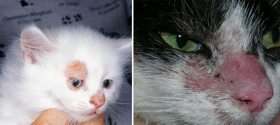 микроспория у кішок