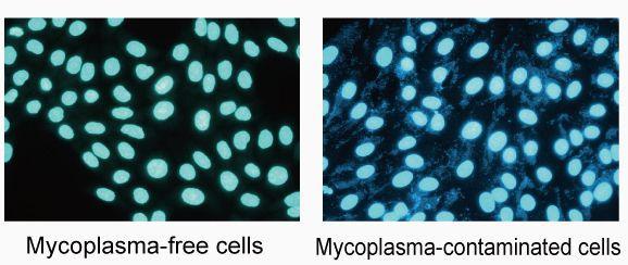 Мирні і шкідливі мікоплазми