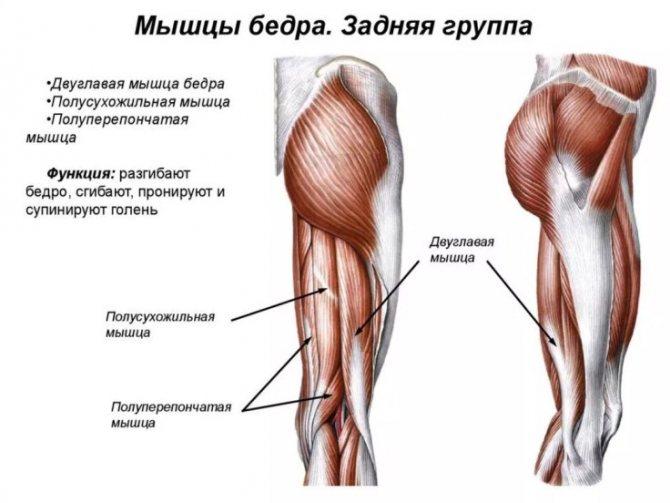 м'язи задньої поверхні стегна анатомія
