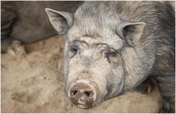 нежить у свині