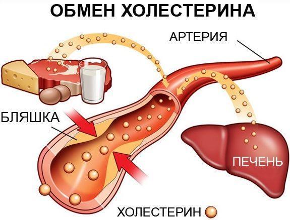 Обмін холестерину в організмі