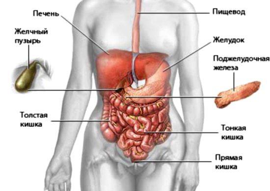 Органи черевної порожнини