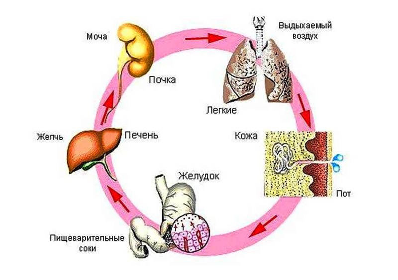 Основні шляхи виведення лікарських препаратів з організму