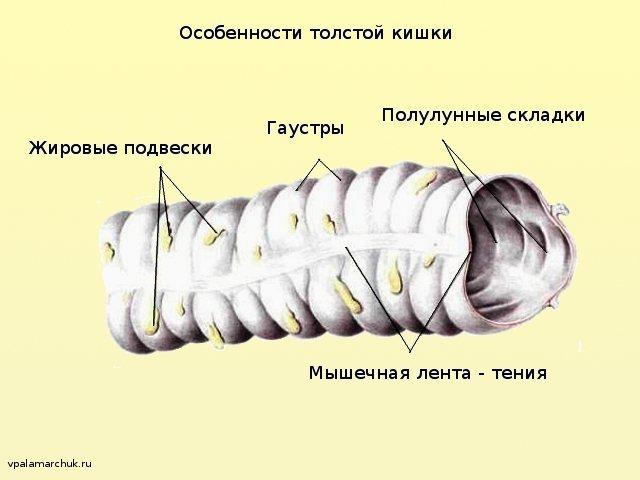 Особливості анатомії товстої кишки