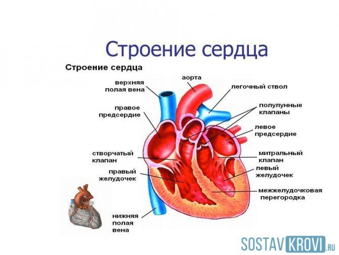 відділи серця