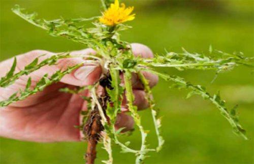 Відвар з кореня кульбаби допоможе відновити кишечник