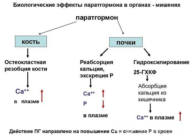 Паратгормон регулює фосфорно-кальцієвий обмін, його підвищення позначається, в першу чергу, на кістках і нирках