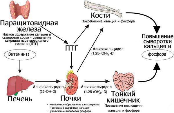 паратирин