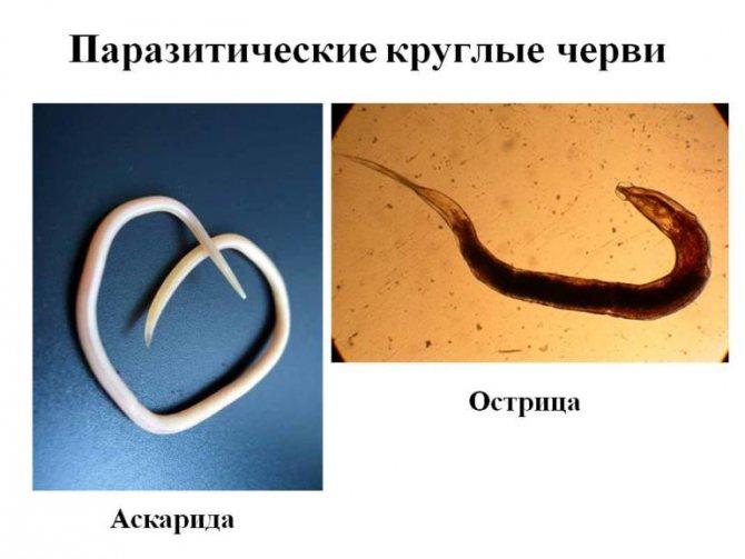 Паразитичні круглі черв'яки