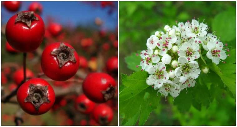 Плоди і квітки глоду