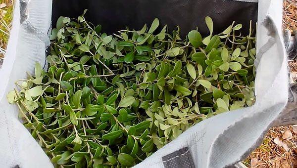Пагони хоч і допускаються в складі сировини, наявність їх вважається небажаним - в ідеалі для приготування засобів потрібно використовувати тільки листя.