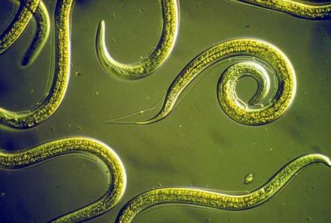 порожнинні черви