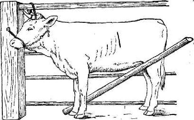 Чи правильна фіксація корови для взяття АНАЛІЗУ