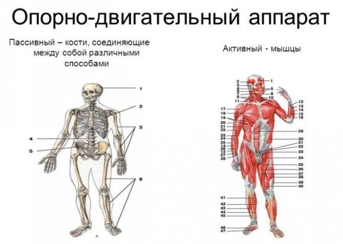 Препарат Дона для опорно-рухового апарату