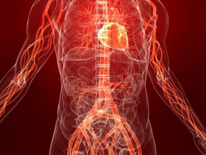 Процес кровообігу в організмі