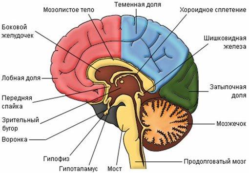 проміжний мозок будова і функції