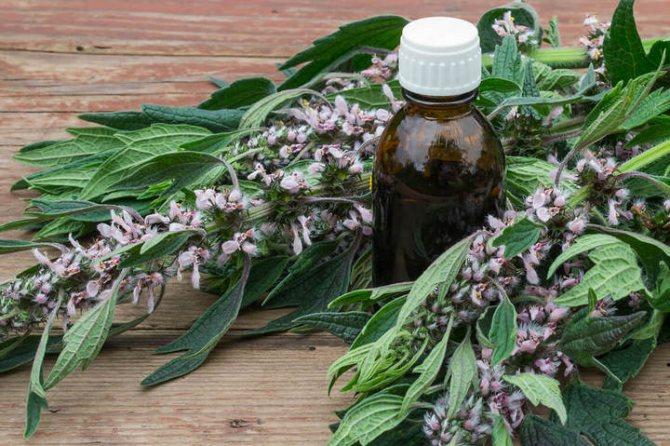 Собача (трава) - лікувальні властивості і протипоказання, користь і шкода