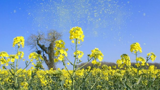 Пилок рослин, як приклад алергену