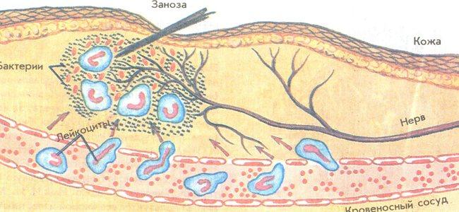 сегментоядерні нейтрофіли
