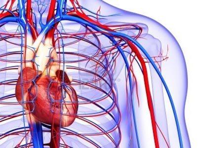 серцевий м'яз