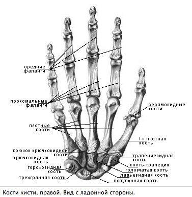 Сесамовідние кістки руки