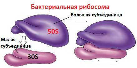 схема стоеній бактеріальної рибосоми