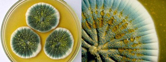 штами Penicillium notatum і Penicillium chrysogenum утворюють пеніцилін