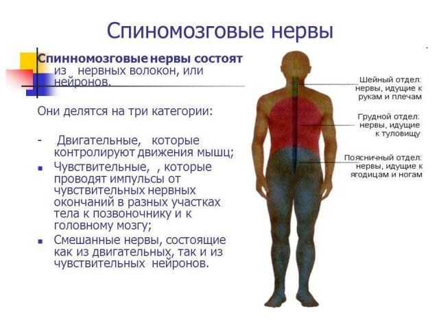 спінномозкові нерви