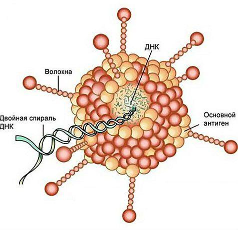 будова аденовірусу