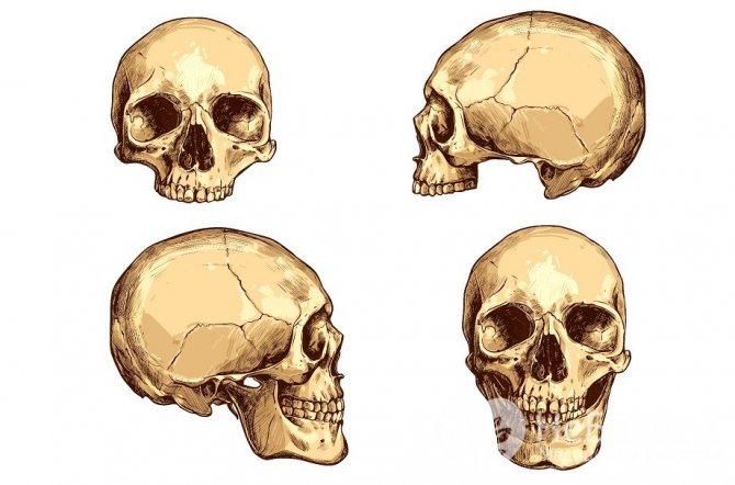 Будова черепа людини