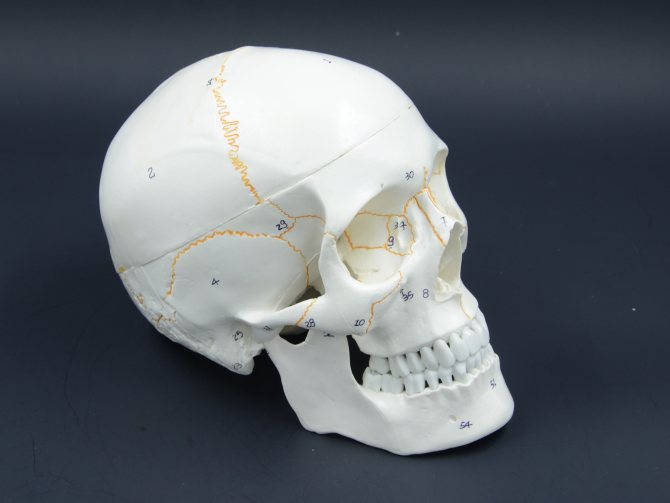 будова черепа