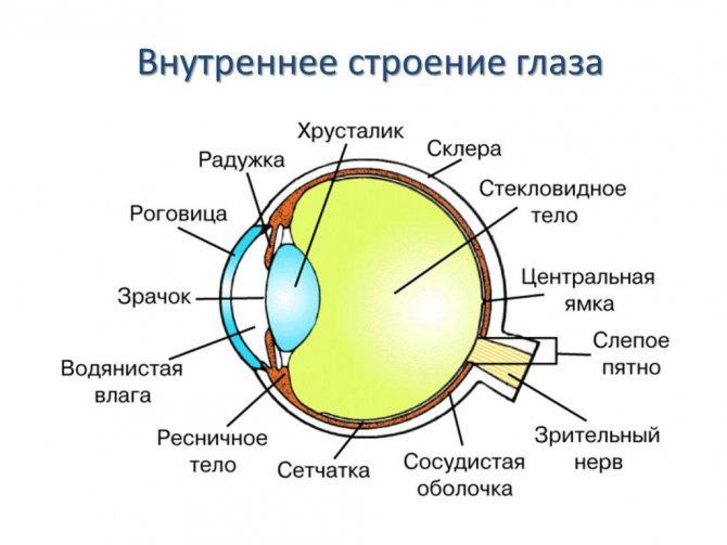 будова очі