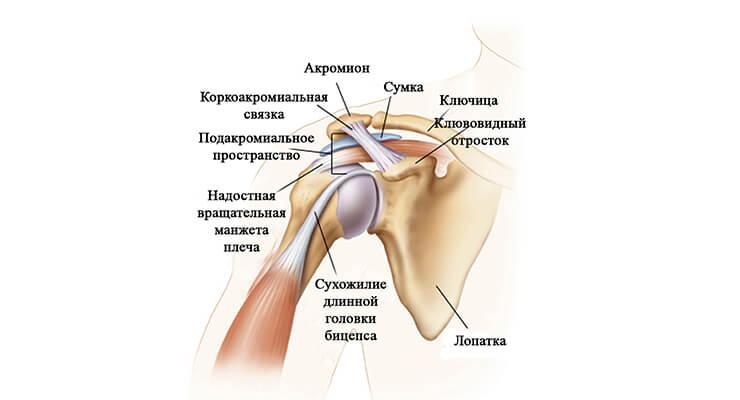 Будова і особливості плечового суглоба