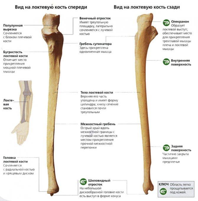 Будова ліктьової кістки