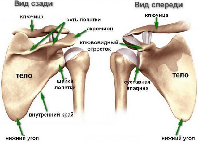 Будова лопатки кісткі людини